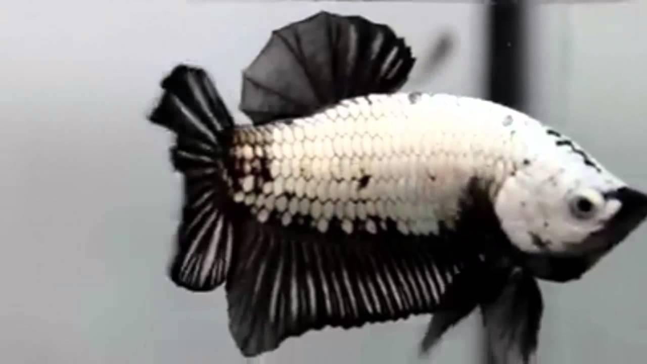 Black Dragon Betta Fish - YouTube