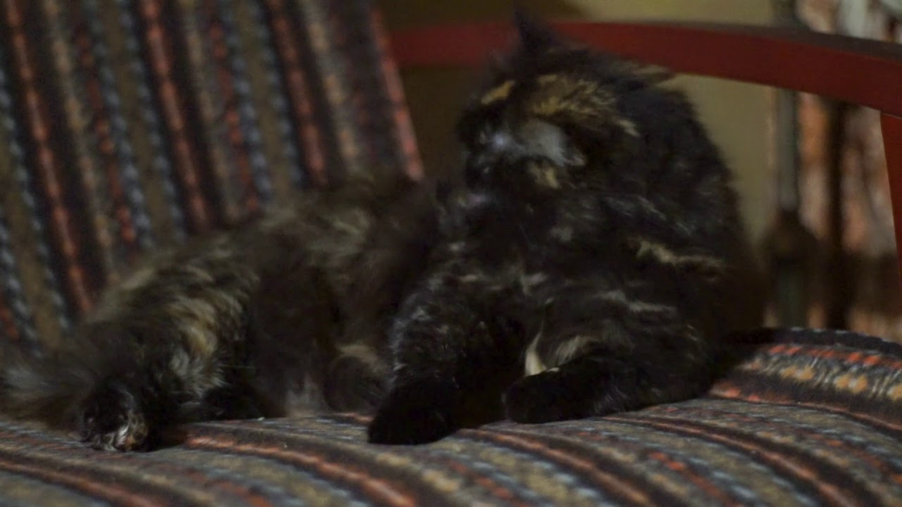 выставка кошек 2017 часть 4 семейство мейн кун - YouTube