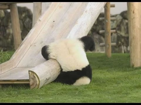 So Cute !! Baby Pandas Playing (2)!!