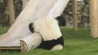 So Cute !! Baby Pandas Playing (2)!!