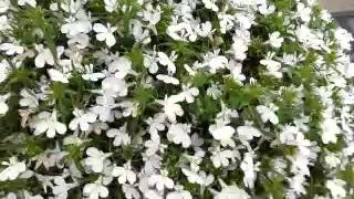Spring Trials 2016: HOT™ Lobelia