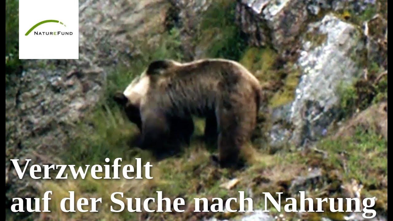 Die letzten Bären Spaniens vom Aussterben bedroht! - YouTube