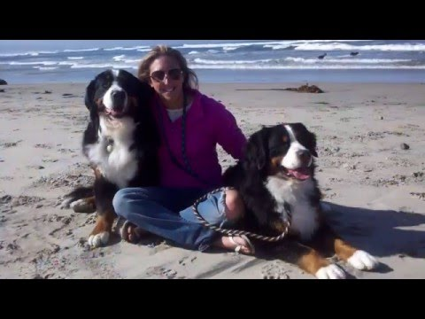 Mufasa (Bernese Mountain Dog) - 2015 AKC Humane Fund Awards for Canine Excellence