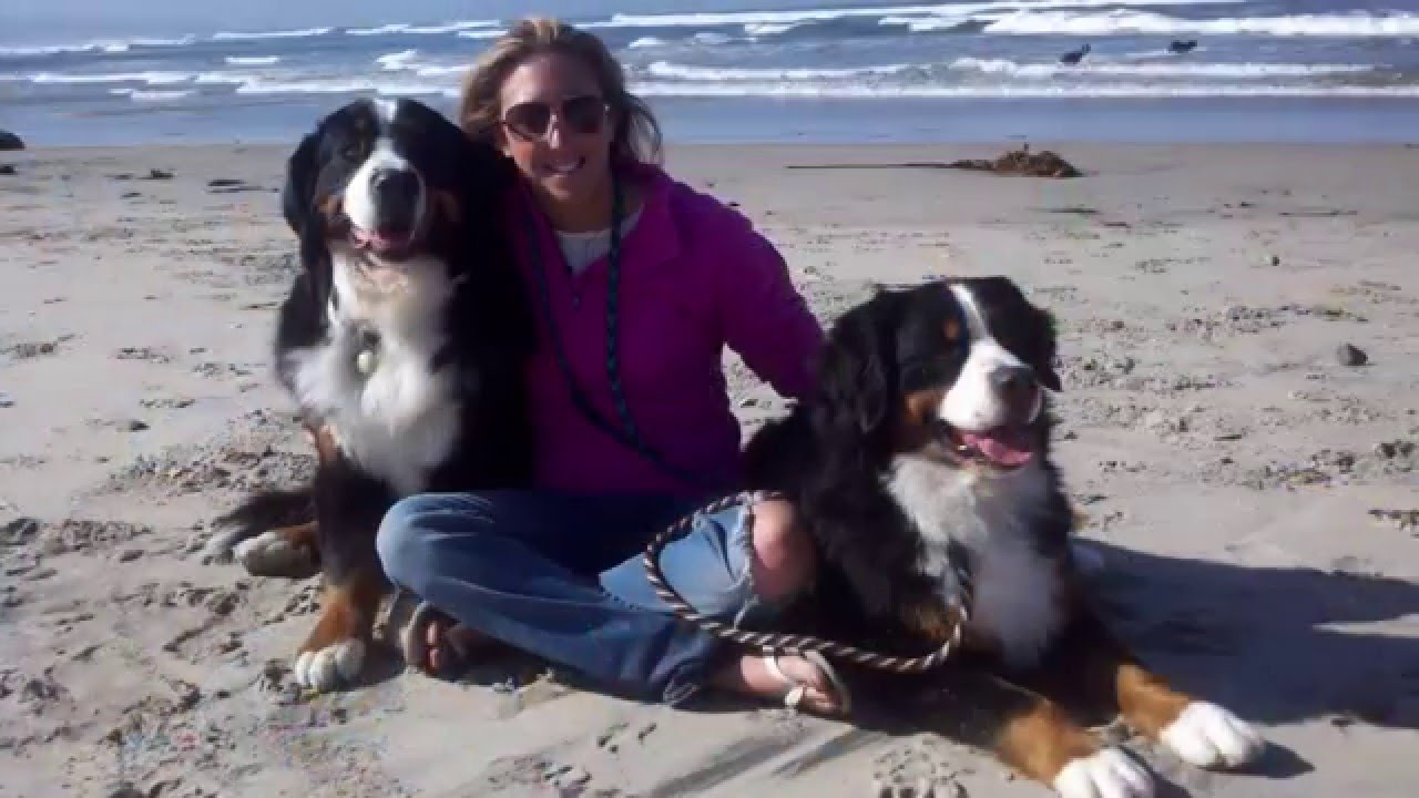 Mufasa Bernese Mountain Dog 2015 Akc Humane Fund Awards For Canine Excellence