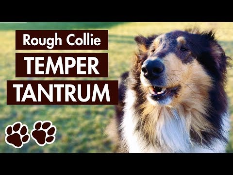 Rough Collie Barking – Dog's Temper Tantrum Before a Yak Chew