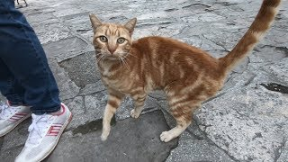 Orange cat is trilling and rubbing for food and love