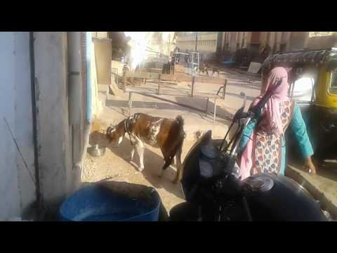 Bikaner goat mp4