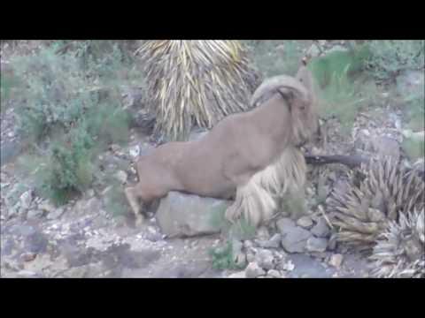 New Mexico Aoudad Barbary Sheep hunt 2015