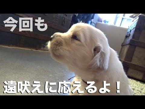 【レポート】仔犬がヨチヨチ歩くようになりました!