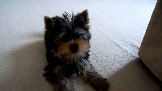 Yorkshire Terrier Puppy Barking At Camera