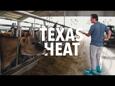 How Texas Dairies Are Managing the Heat
