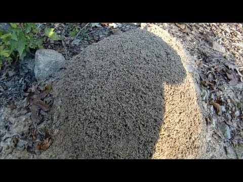 Disturbing a Huge FIRE ANT Mound! - Neuse River Trail, Clayton NC - Oct. 25, 2014