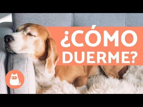 Las POSICIONES y formas de dormir de un perro y su SIGNIFICADO