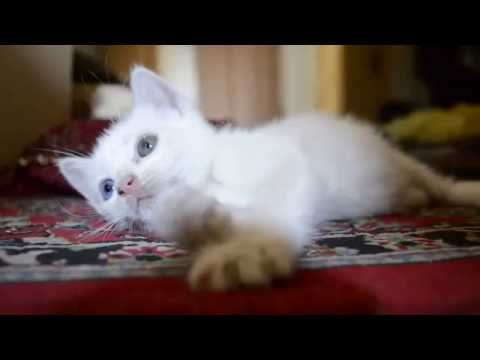 My Turkish angora cat with odd eyes.
