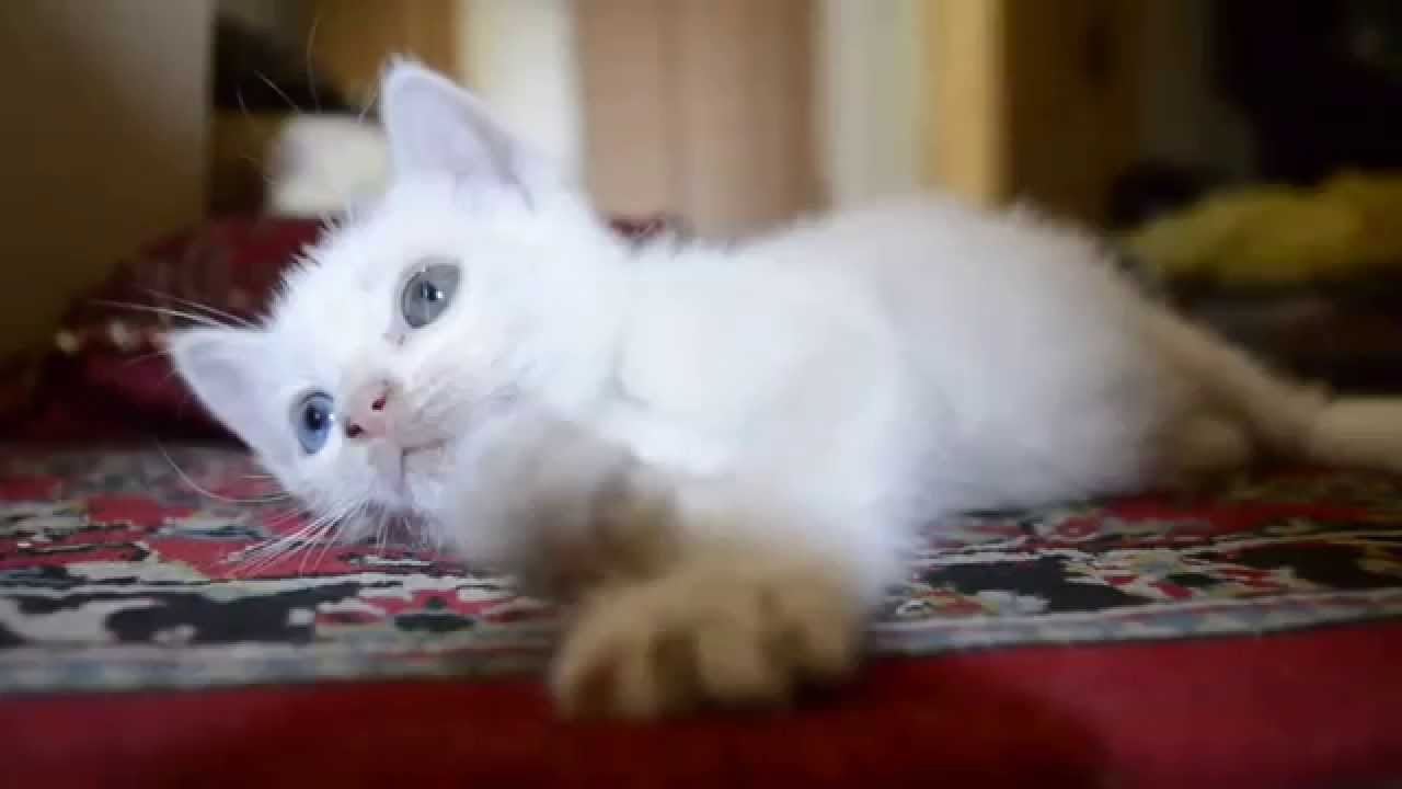 7e2a18d2859db6 My Turkish angora cat with odd eyes. - YouTube