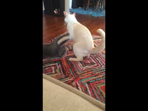 Siamese and Russian Blue Cats Wrestling
