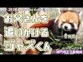 お父さんを追いかける ジャズくん 神戸市王子動物園(レッサーパンダ)Red panda Kobe City Oji Zoo