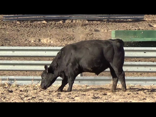 Connealy Angus Lot 251