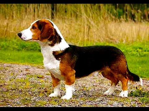 Drever - (Swedish Dachsbracke)  /  Dog Breed