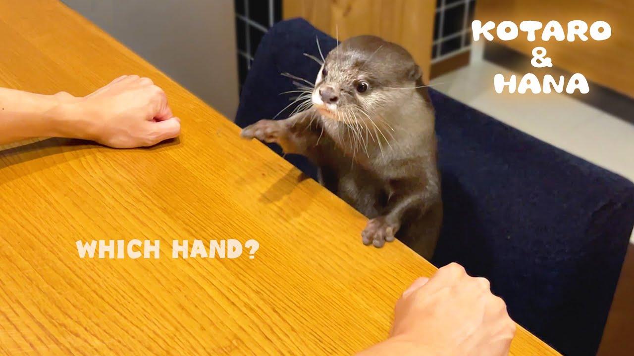 リアクションが面白すぎるカワウソのどっちかなゲーム Funny Reaction Otter Makes the Wrong Choice