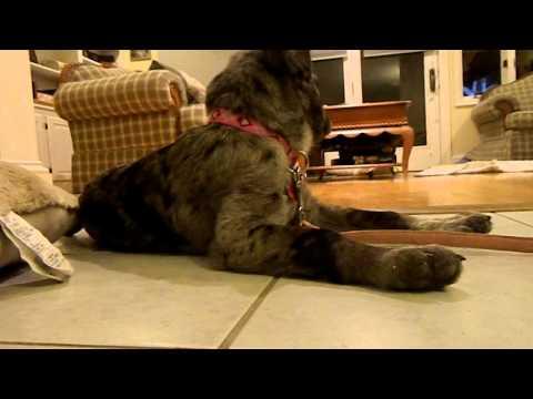 Melody The Australian Shepherd / Catahoula Mix puppy