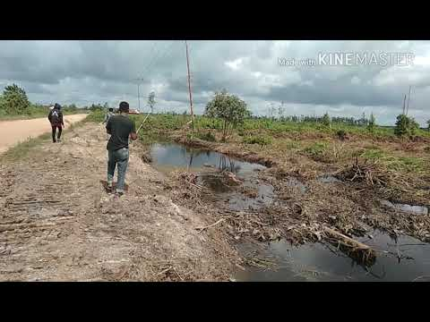 Viral...mancing Ikan Gabus Di Rawa Kalimantan