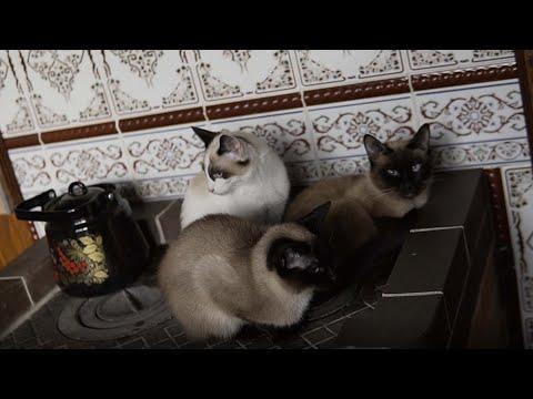 История питомника кошек редкой породы Сноу-шу