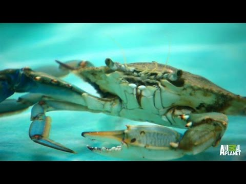 A Rare All-Crab Tank | Tanked