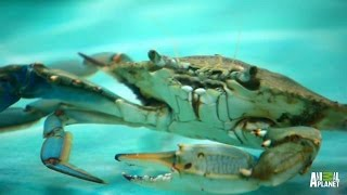 A Rare All-Crab Tank   Tanked