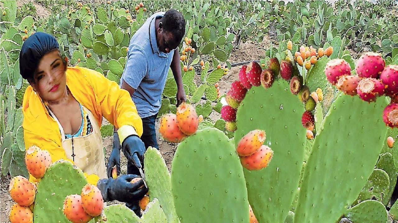 Awesome Desert Fruit Agriculture Farm Technology - Prickly pear Harvesting India Popular