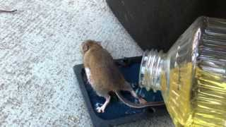 Removing a mouse from a sticky trap with vegetable oil ends poorly for me. Never again.
