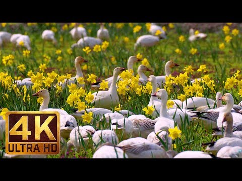 4K Wildlife/Birds Video - 3.5 Hours Sounds of Snow Geese   Skagit Valley Snow Geese. Part 2