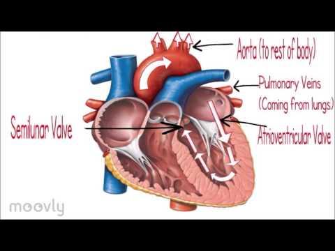 The Heart (Crash Course)