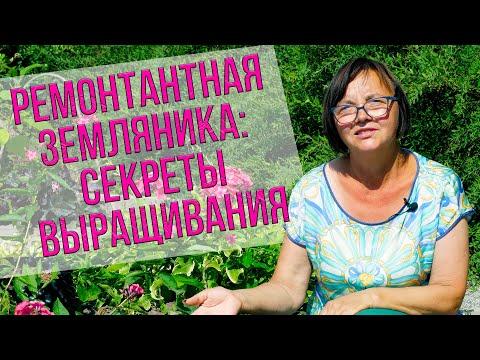 Ремонтантная земляника: секреты выращивания.