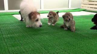母はジャックラッセルテリア 父はプードル(白) の子犬達です。詳しくは...