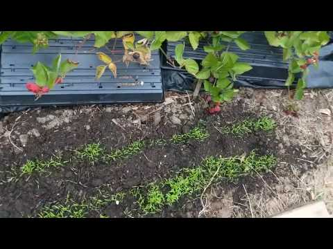How to Grow Carrots in your front yard| Farming Seattle