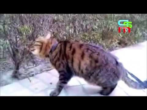 CHECK THIS OUT!...A Li Hua Mau CAT happily walking on a leash...!