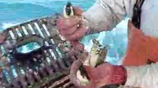 Stone Crab Claw Removal By Fresh Choice Seafood