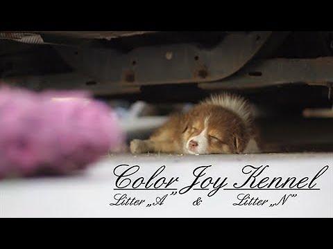 .:Color Joy kennel:. Australian Shepherds
