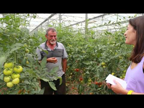 Growing tomatoes with organic market gardener Tony Scarfo