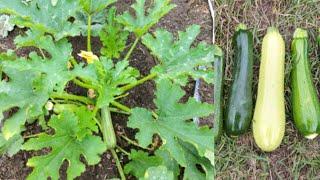 ปลูกซูกินีแบบง่ายๆ (ฉบับสมบูรณ์) - Zucchini - เริ่มตั้งแต่เพาะเมล็ด จนถึง เก็บเกี่ยว (5 Jul.20)