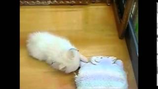 cute animals videos The Pomeranian which shows cute idle gesture funny animal