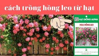 cách ươm hạt giống hoa hồng leo pháp - cách trồng hoa hồng leo từ hạt giống -hạt giống hoa hồng leo