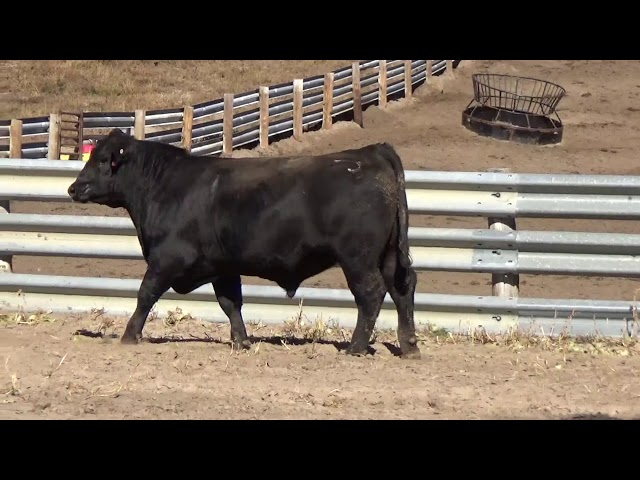 Connealy Angus Lot 66