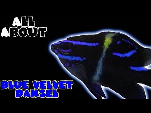 All About The Blue Velvet Damselfish Or Japanese Damselfish