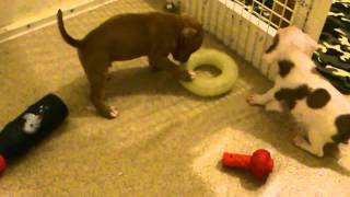 Red Staffordshire Bull Terrier Puppies 4 Weeks Old