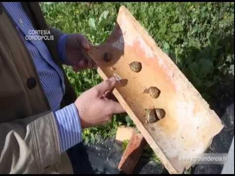 La Helicicultura, la cría de caracoles en granjas