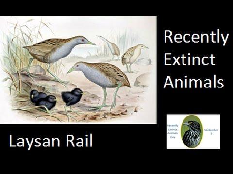 Recently Extinct Animals- Laysan Rail
