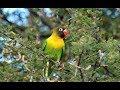 Dengarkan Suara Panggilan Lovebird Ini Pagi Sore Dan Malam Balibu Anda Pasti Langsung Nyaut Ngekek  Mp3 - Mp4 Download