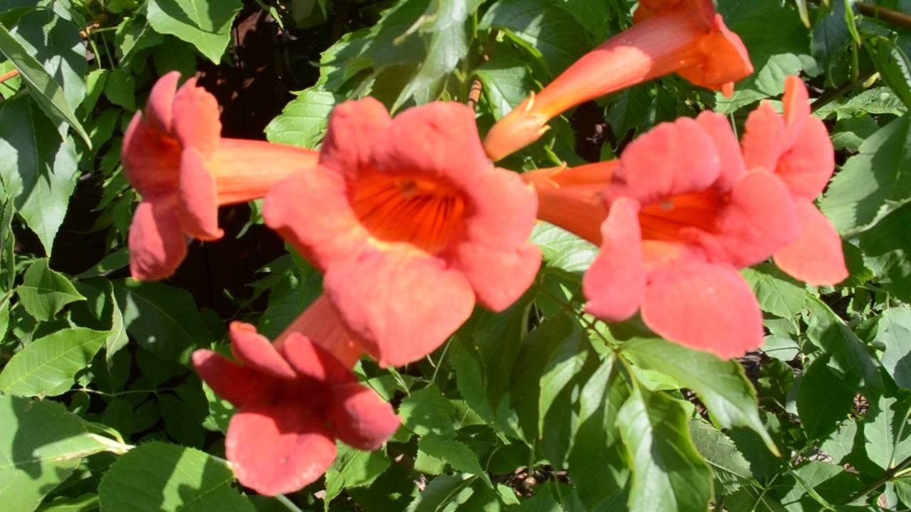 Садовые пионы: описание и